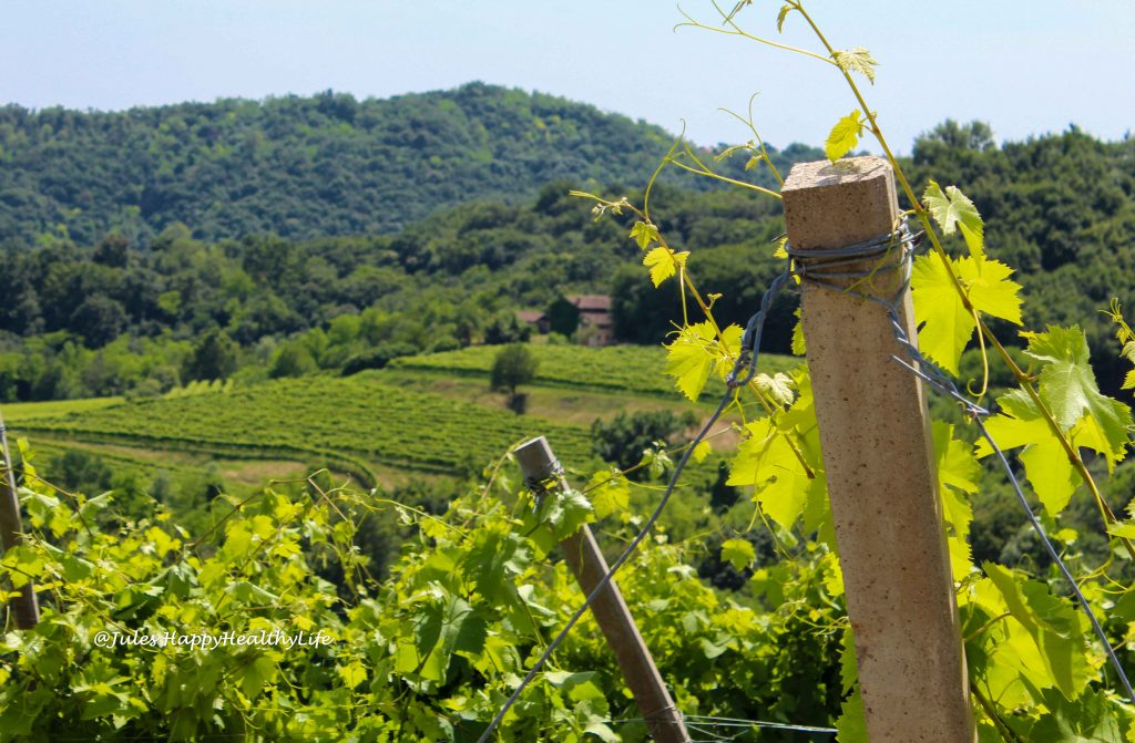 Vineyards in the Prosecco region around Treviso.